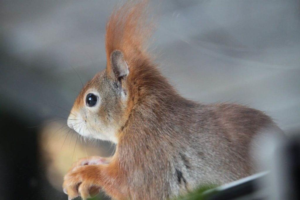 Begeisterter Nüssefan: Das Eichhörnchen